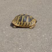 tortue sur la route